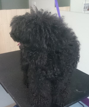 Peggy Miniature Poodle Before