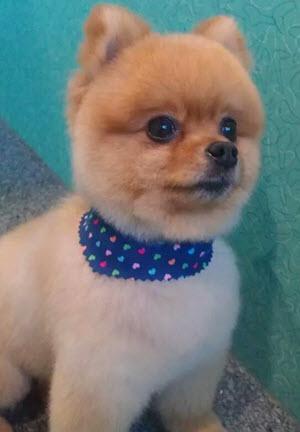 Pomeranian After