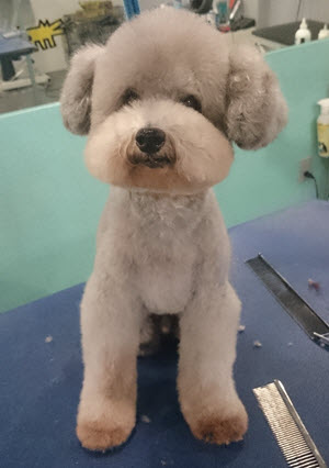 Designer Dogs Grooming Studio Before After Pics