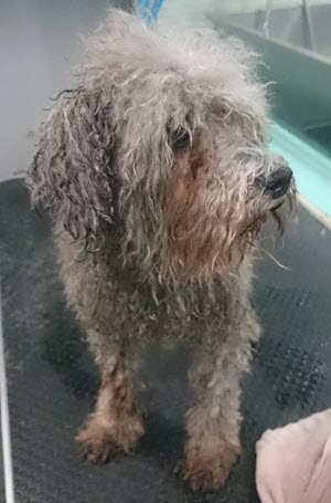 Poodle Before