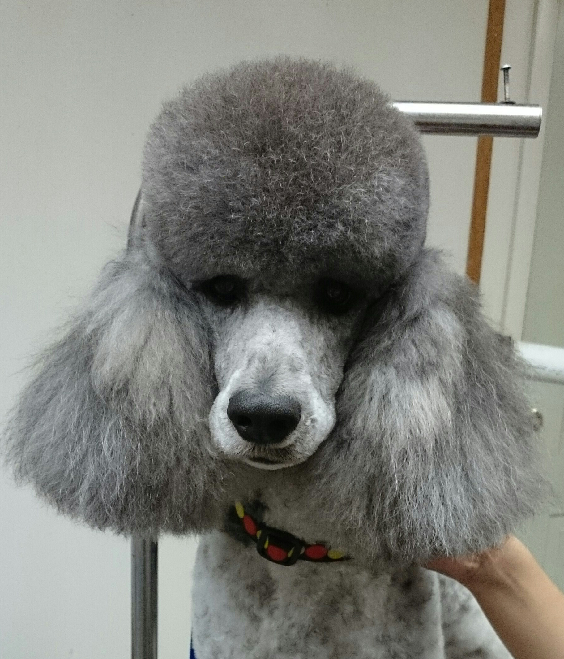 Traditional Poodle Head