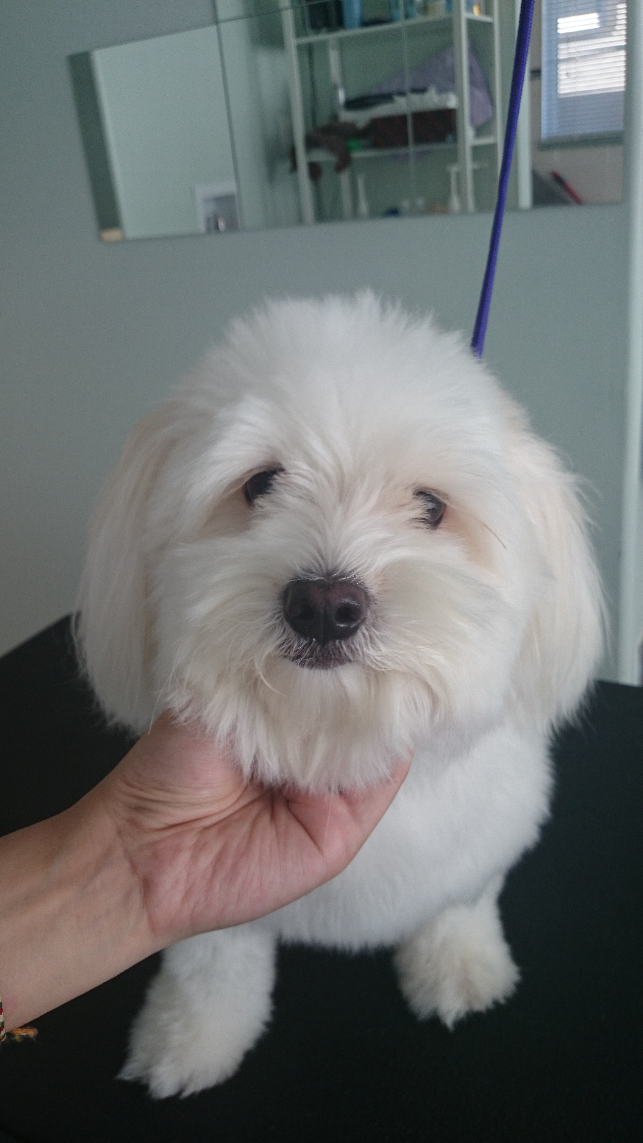 Sisi the Maltese Poodle Cross Before